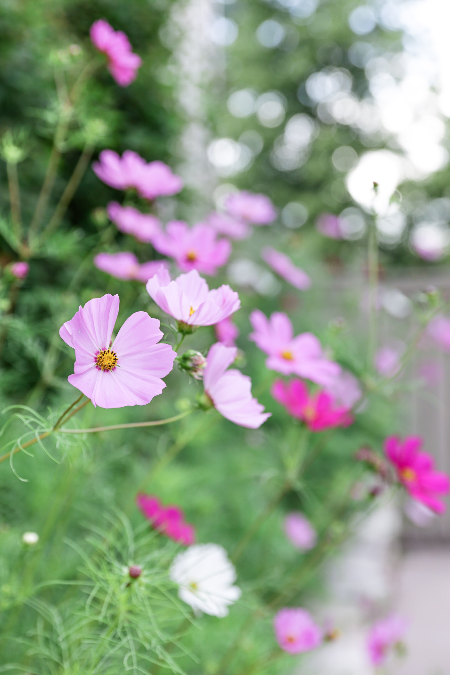 Cosmos in the garden
