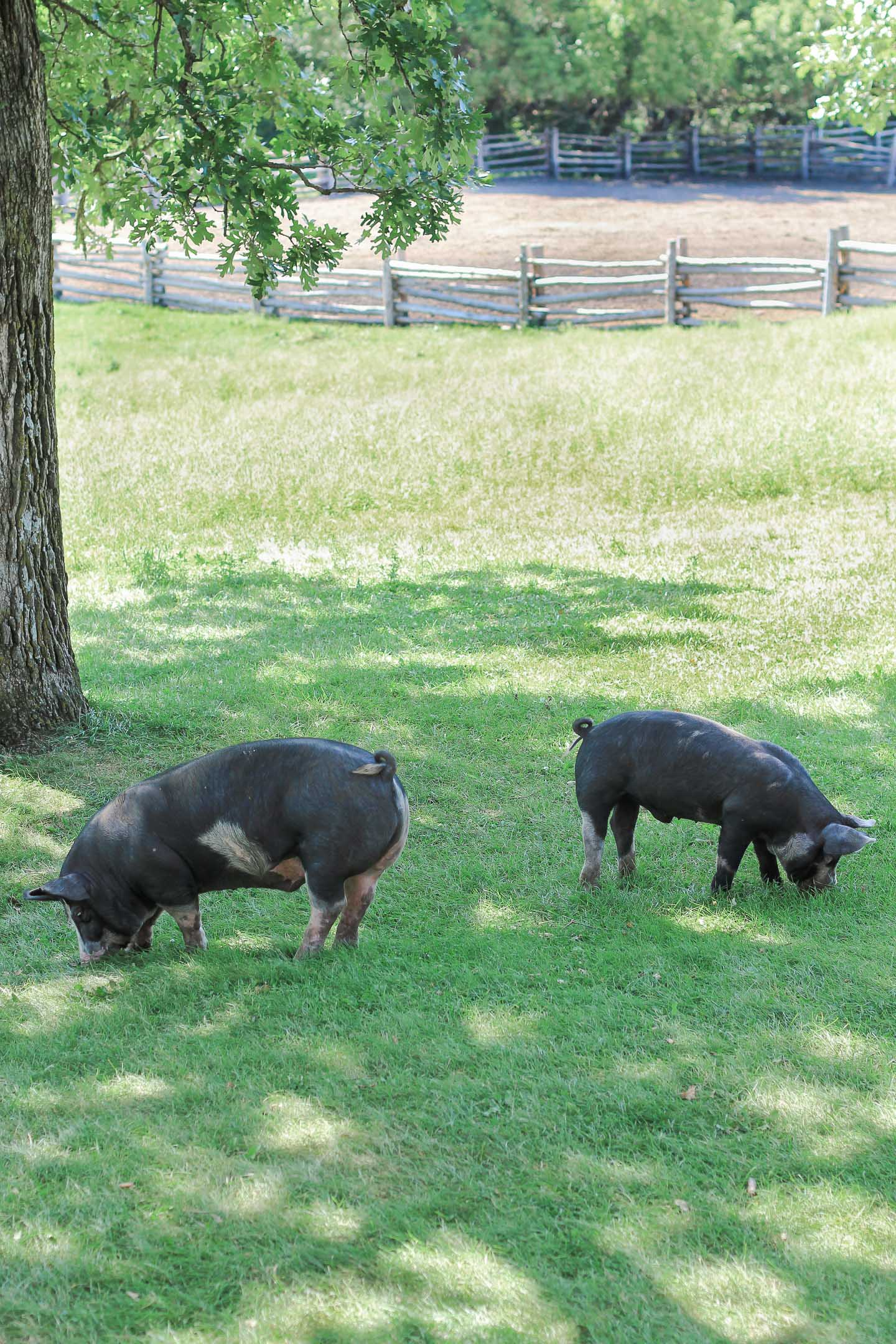 Two pigs in the grass.