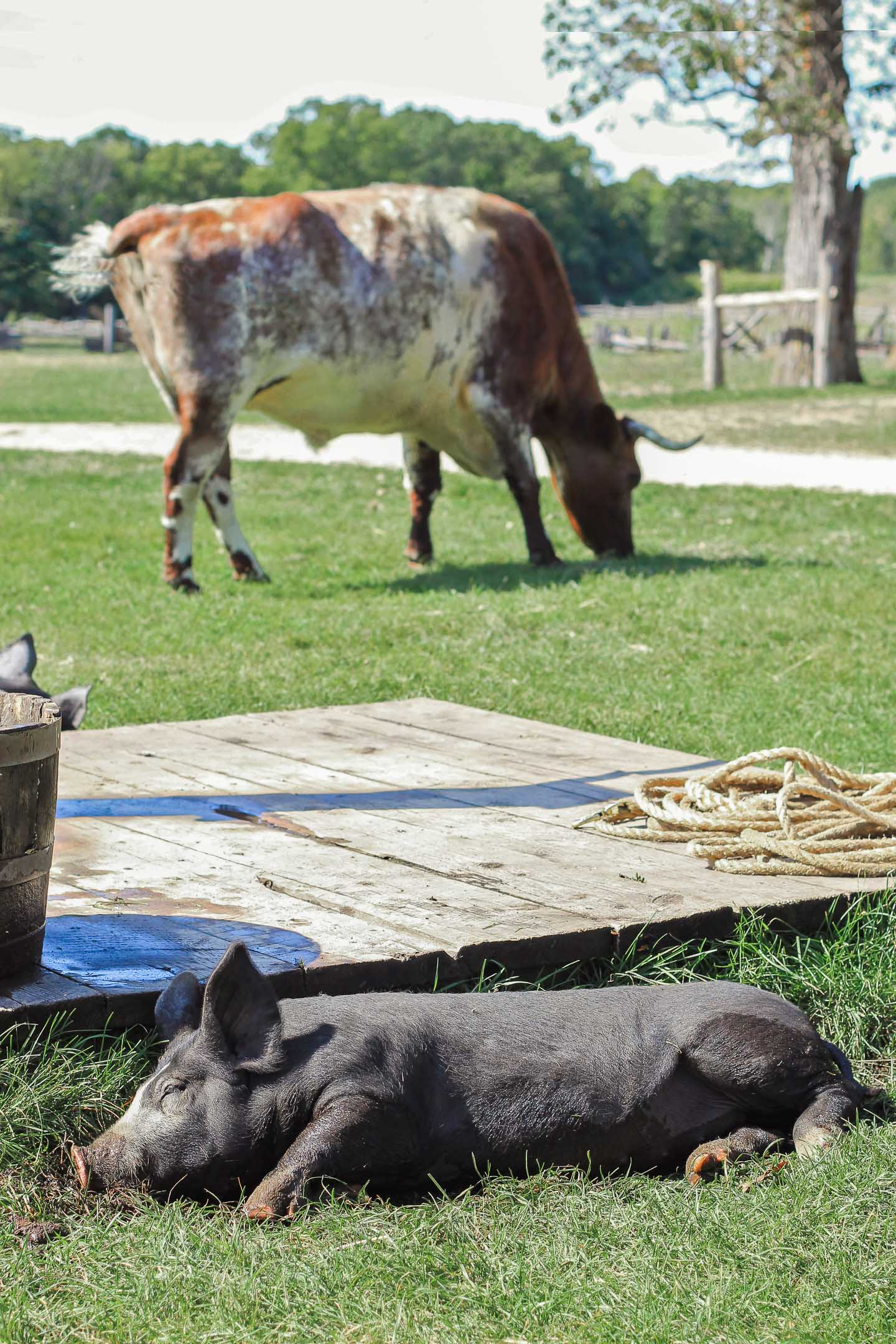A pig in a hole and an ox eating grass.
