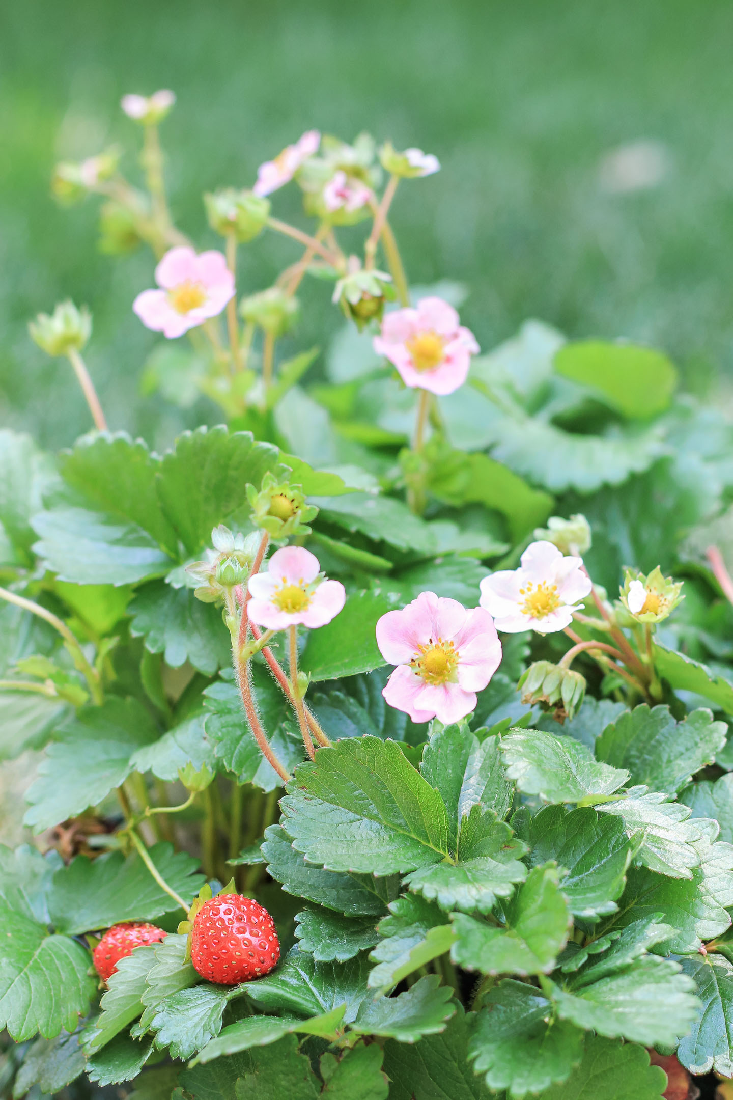 Flowering strawberry plant.