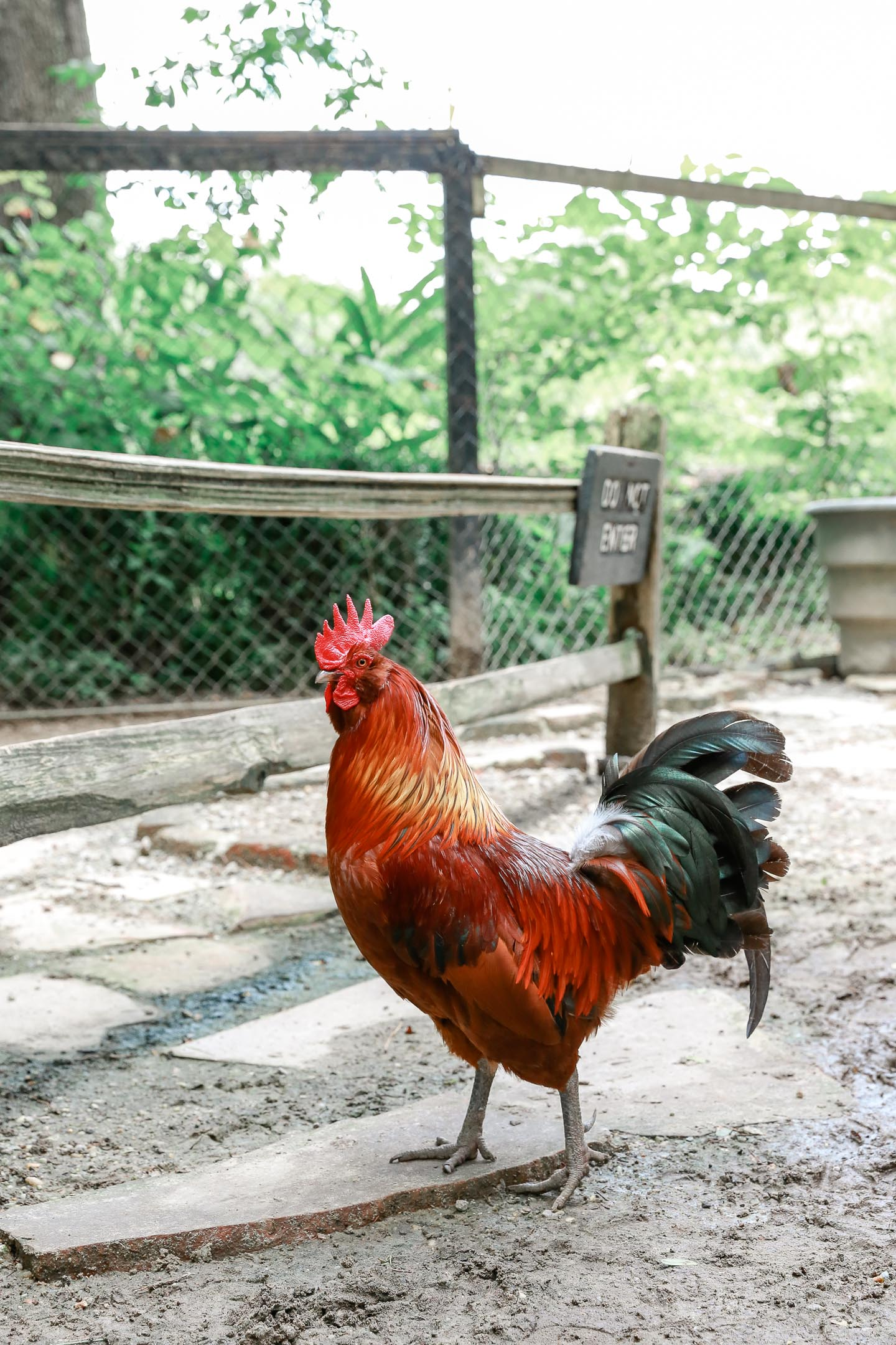 A colorful rooster