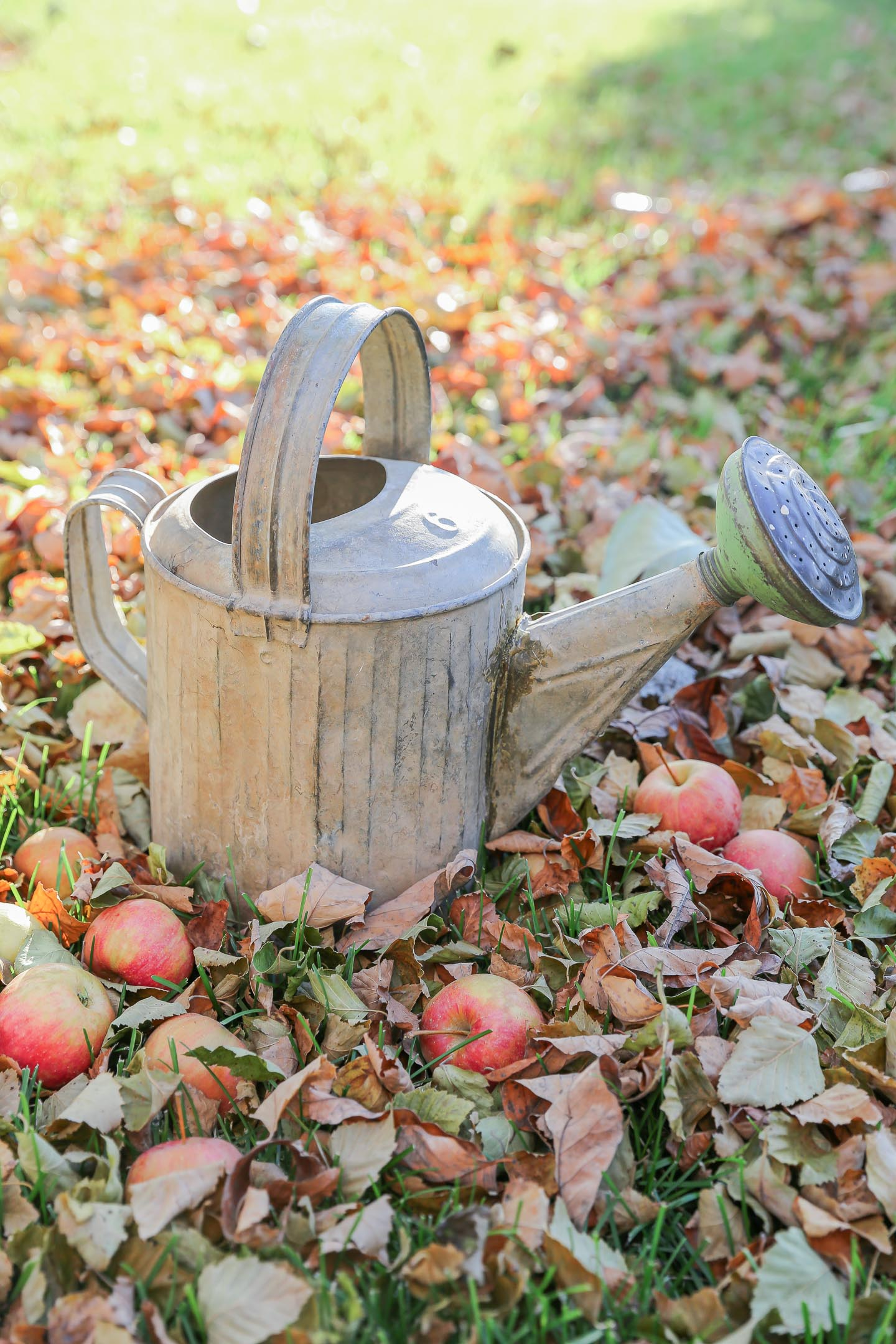 Vintage watering can sitting in the leaves and surrounded by apples.