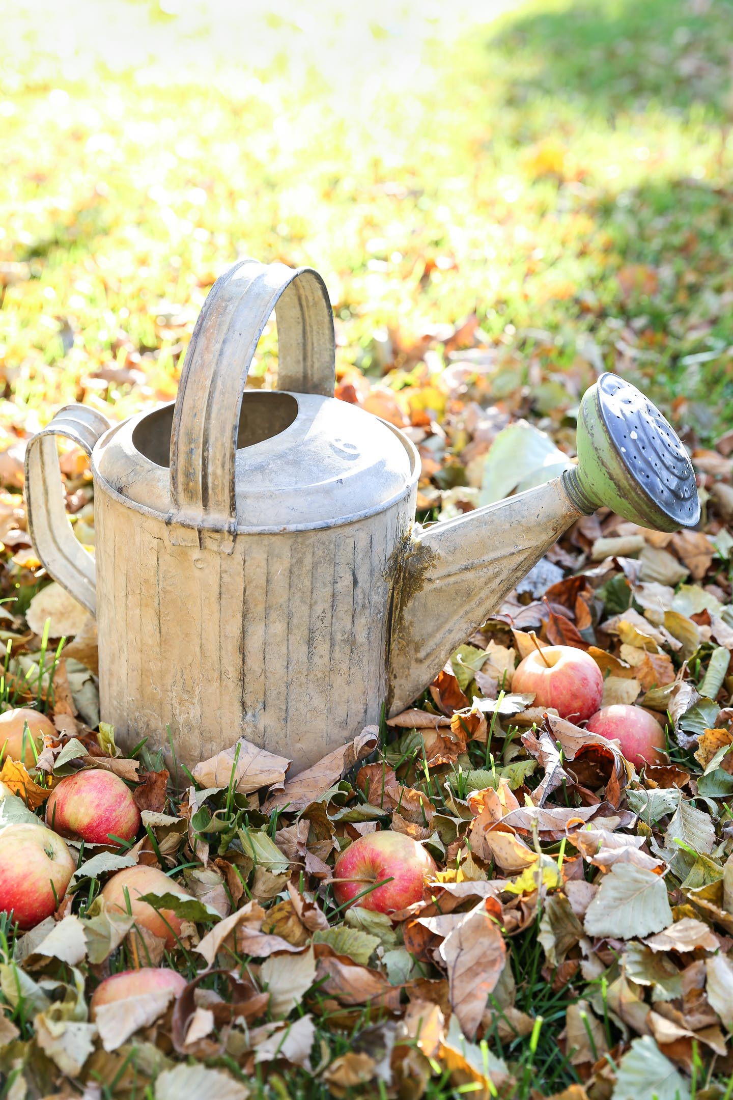a vintage watering can in the grass surrounded by apples and fallen leaves